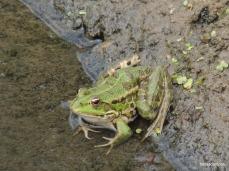 Βάτραχος στο δέλτα του Πηνειού