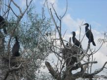 Κορμοράνοι πάνω από τις φωλιές τους στη λίμνη Κερκίνη