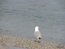 Γλάρος ετοιμάζεται να φύγει στο λιμάνι του Πλαταμώνα