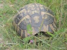 Χελώνα δίπλα στο δέλτα του Πηνειού