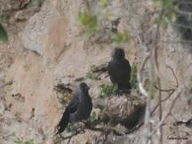 Κοράκια του Ολύμπου προστατεύον τις φωλιές τους