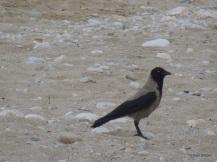 Κοράκι σε παραλία στο Πήλιο