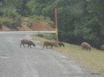 μικρά αγριογούρουνα περνούν το δρόμο σιγά σιγά