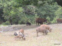 Αγριογούρουνα ήρεμα ψάχνουν για τροφή κοντά στο Βένετο του Πηλίου.